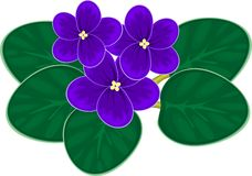 Violettes africaines (saintpaulia) Photo stock