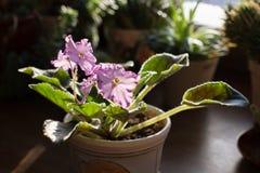 Violettes africaines se développantes - sourire d'Austin's de sorte dans la maison avec le fond en bois images libres de droits