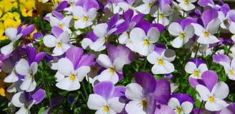 Violettes blanches et pourpres Jour ensoleill? image libre de droits