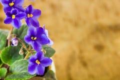 Violettes bleues douces Photo stock