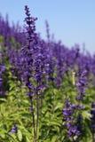 Violettes Blumenfeld Stockbild