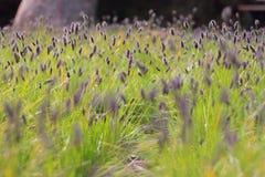 Violettes Blumenfeld Lizenzfreies Stockbild