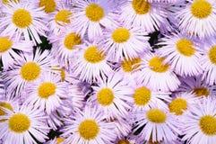 Violettes camomille. Stockbilder