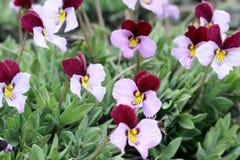 Violettes d'armoise - trinervata d'alto Image libre de droits