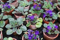 Violettes de Parme Photographie stock