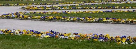 Violettes de source Photos libres de droits