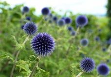 Violettes Distelgrau Stockfotografie