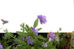 Violettes et espace blanc Images stock