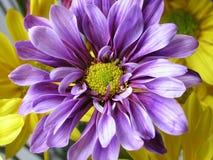 Violettes Gänseblümchen Stockfoto
