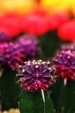 violettes Gymnocalycium mihanovichii Das Hobby, das mit vielen des Sprösslingskaktus im Kindertagesstättengarten für Verkauf im G Lizenzfreie Stockfotos