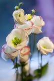 Violettes hrisantema Stockfoto