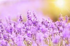 Violettes Lavendelfeld, Großaufnahme Lizenzfreie Stockfotos