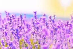 Violettes Lavendelfeld, Großaufnahme Stockfoto