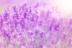 Violettes Lavendelfeld, Großaufnahme Lizenzfreie Stockbilder