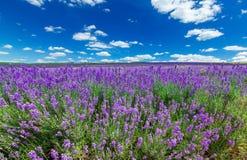 Violettes Lavendelfeld, Großaufnahme Stockfotos