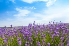 Violettes Lavendelfeld, Großaufnahme Stockbilder