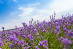 Violettes Lavendelfeld am sonnigen Tag Stockfoto