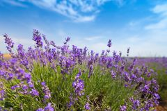 Violettes Lavendelfeld am sonnigen Tag Stockfotografie