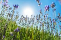 Violettes Lavendelfeld am sonnigen Tag Lizenzfreie Stockbilder