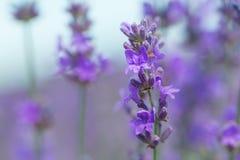 Violettes Lavendelfeld am sonnigen Tag Stockbilder