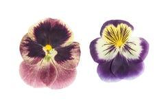 Violettes pressées et sèches de fleur, d'isolement sur le blanc images libres de droits