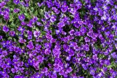 Violettes sauvages Photographie stock libre de droits