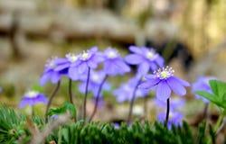 Violettes sauvages dans la forêt Photo stock