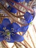 Violettes sous l'eau Images libres de droits