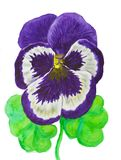 Violettes Stiefmütterchen, malend Stockfotos