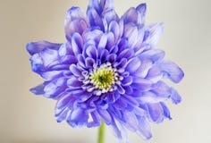 Violettes unvollständiges chrysanth auf Weiß Stockbild