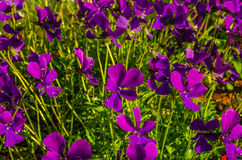 Violettes violettes après une pluie Photos libres de droits