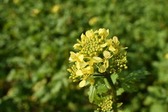Violez la fleur Image libre de droits