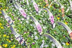 Violia växter i ett Intratuin lager i Voorschoten, Nederländerna arkivfoton