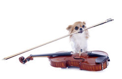 Violin and chihuahua Stock Image
