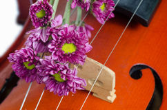 Violin and purple daisy. On  white background Stock Photography