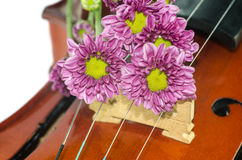 Violin and purple daisy on white background. Violin and purple daisy isolated on white background Royalty Free Stock Photos