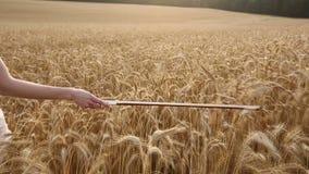 Violinistmädchen, das durch ein Weizenfeld geht stock footage