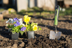 Viollet seedlings of flowers Stock Photography