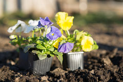 Viollet seedlings of flowers Royalty Free Stock Photos