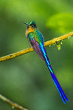 Violt Tailed Sylph royalty free stock photo