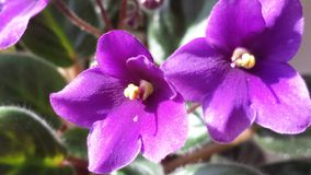 viooltje Royalty-vrije Stock Foto