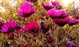 In viooltje stock foto's