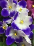 viooltje Royalty-vrije Stock Afbeelding