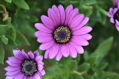 viooltje stock foto's