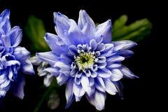 Viooltje chrysanth op zwarte Stock Foto's