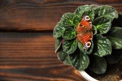 Viooltje in een pot De vlinder zit op een installatie royalty-vrije stock foto's