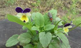 Viooltje en insect stock afbeeldingen
