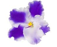 Viooltje met blauwe en witte bloemblaadjes royalty-vrije stock afbeelding