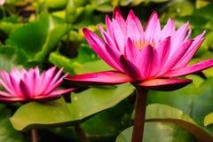 Viooltje twee lotuses met groene bladeren Royalty-vrije Stock Foto