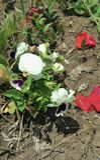 Viooltjebloem en rode bloemblaadjespapaver Stock Foto